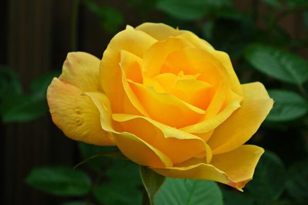 1月12日の誕生花 黄バラ