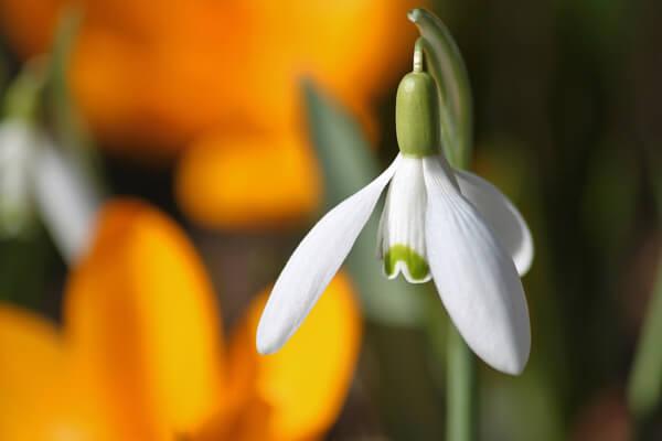 1月22日の誕生花 スノードロップ