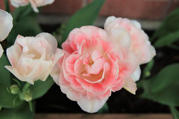 1月25日の誕生花 チューリップアンジェリケ