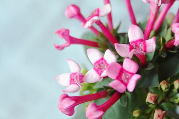 10月10日の誕生花 ブバルディア