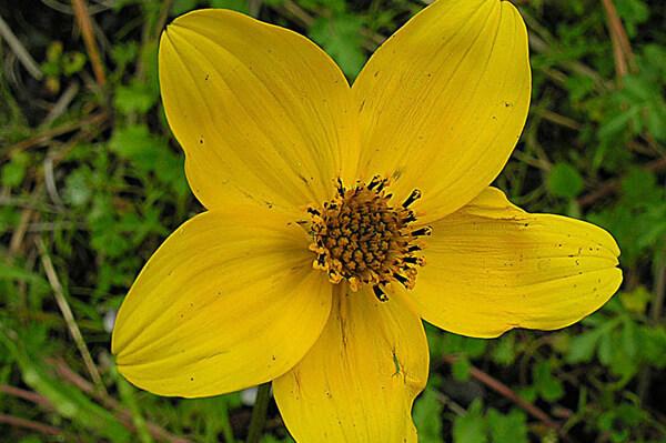 10月16日の誕生花 ビデンス・トリプリネルヴィア