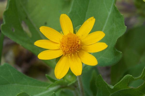10月18日の誕生花 メランポジウム
