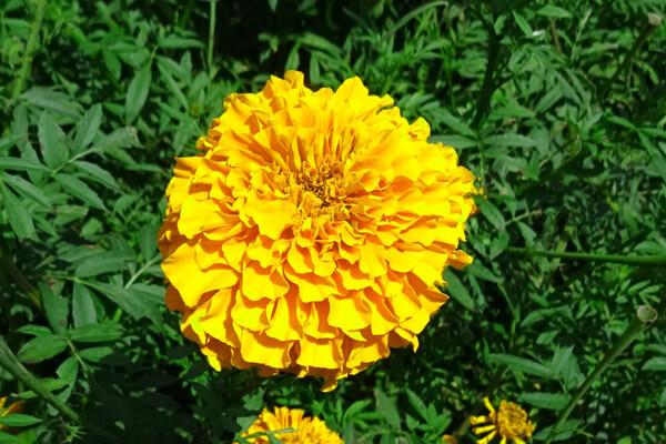 10月28日の誕生花 アフリカンマリーゴールド