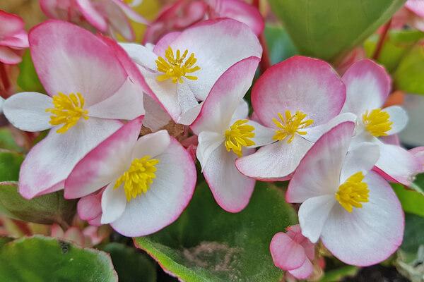 10月6日の誕生花 ベゴニア・センパフローレンス