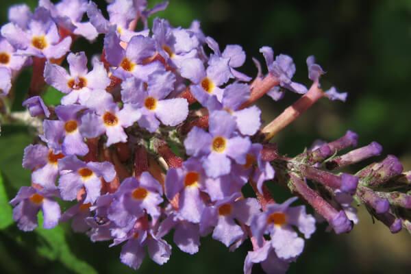 11月10日の誕生花 ブッドレア
