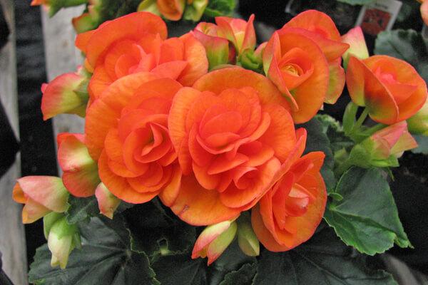 11月12日の誕生花 エラチオールベゴニア