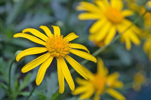11月2日の誕生花 ユリオプスデージー