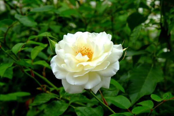 11月22日の誕生花 白バラ
