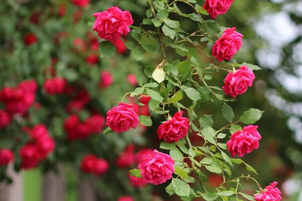 11月9日の誕生花 つるバラ