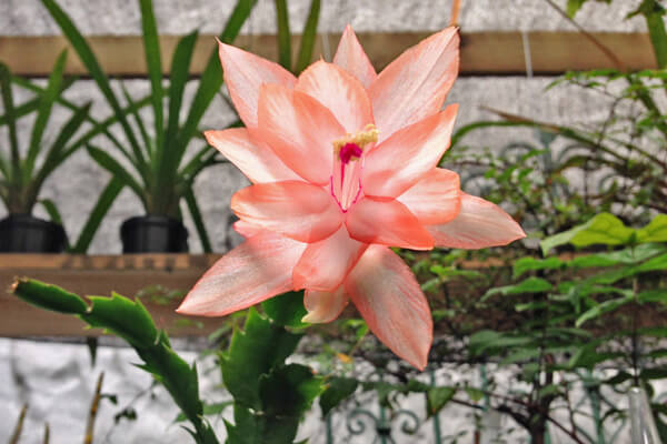 12月12日の誕生花 シャコバサボテン