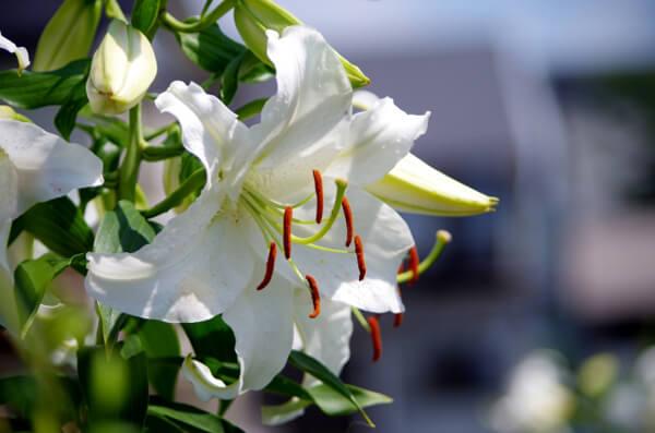 12月21日の誕生花 カサブランカ