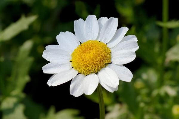 12月24日の誕生花 ノースポール