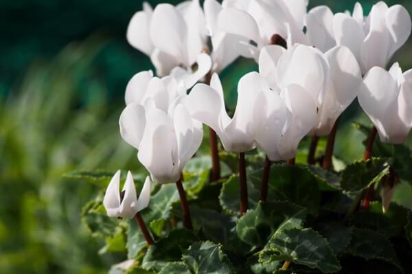 12月26日の誕生花 ガーデンシクラメン