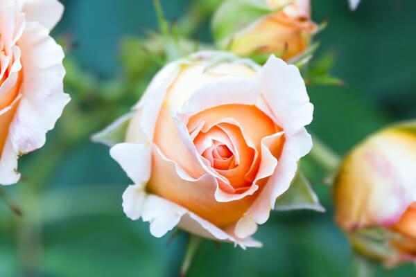 12月3日の誕生花 ベージュ系バラ