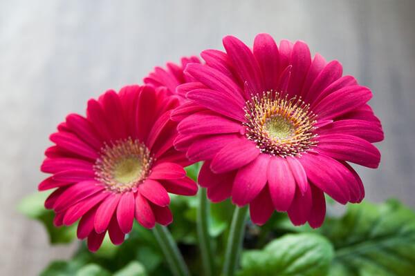 12月30日の誕生花 ガーベラ