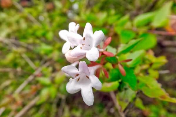 12月4日の誕生花 アベリア