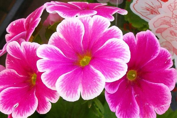 12月9日の誕生花 プリムラ・オブコニカ
