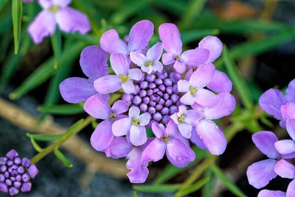 2月11日の誕生花 イベリス