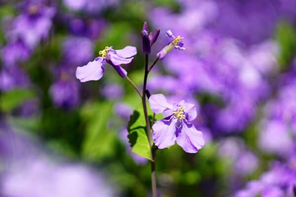 2月18日の誕生花 ムラサキハナナ
