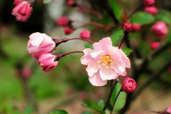 2月25日の誕生花 ハナカイドウ