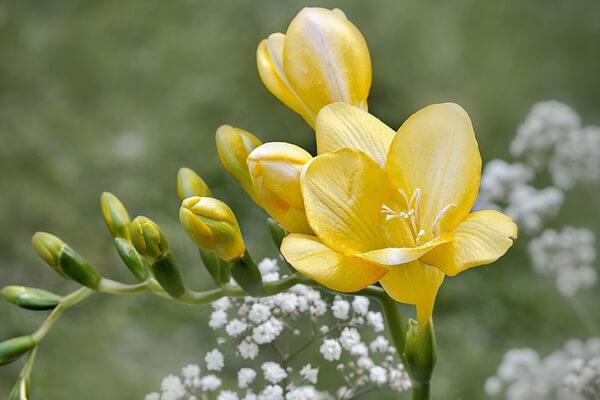 2月28日の誕生花 フリージア