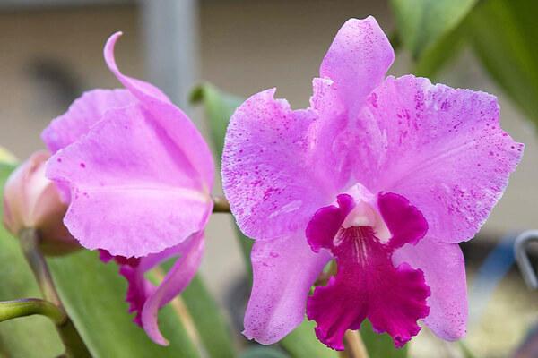 2月9日の誕生花 カトレア