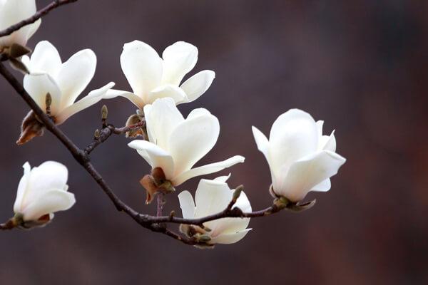 3月1日の誕生花 ハクモクレン