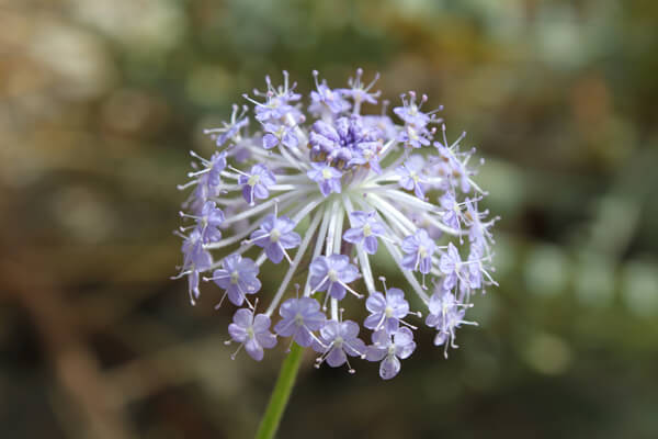 3月10日の誕生花 ブルーレースフラワー