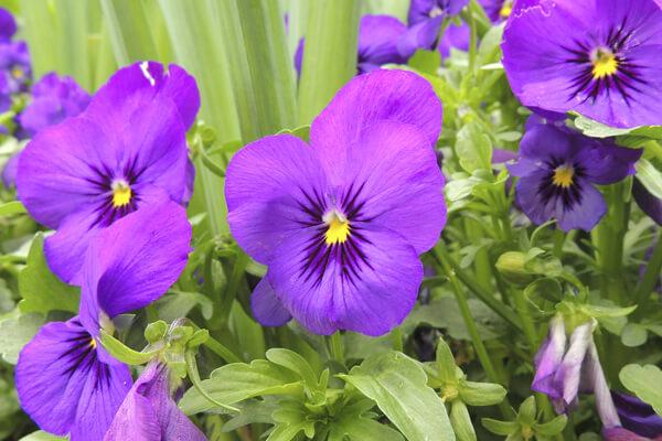 3月15日の誕生花 ビオラ