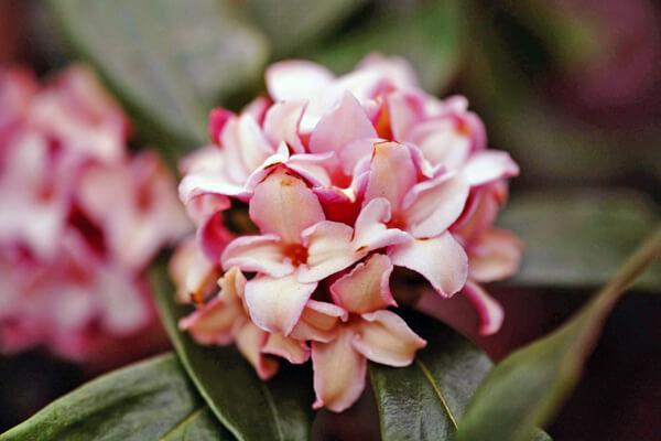 3月16日の誕生花 ジンチョウゲ