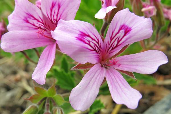 3月19日の誕生花 センテッドゼラニウム