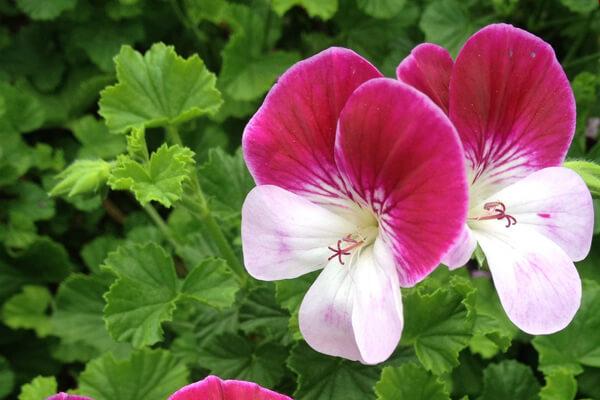 3月24日の誕生花 パンジーゼラニウム