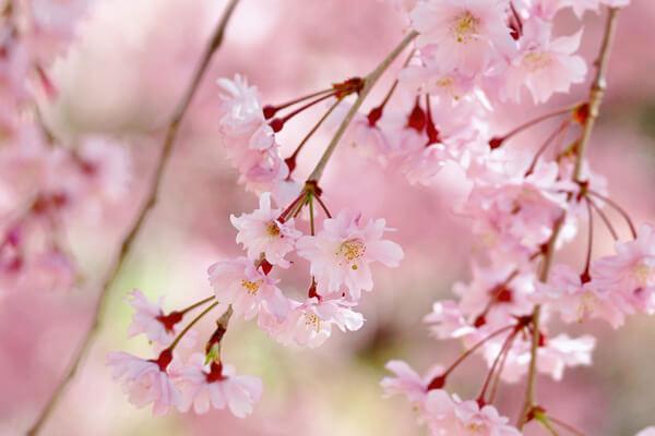 3月26日の誕生花 シダレザクラ