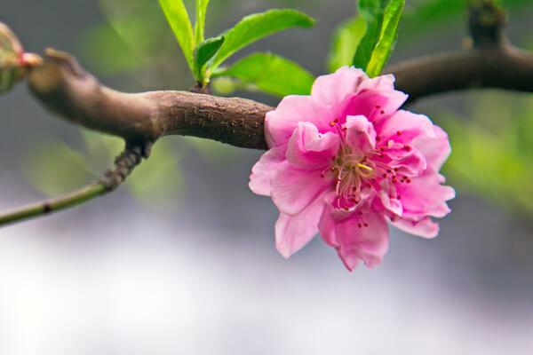 3月3日の誕生花 ハナモモ