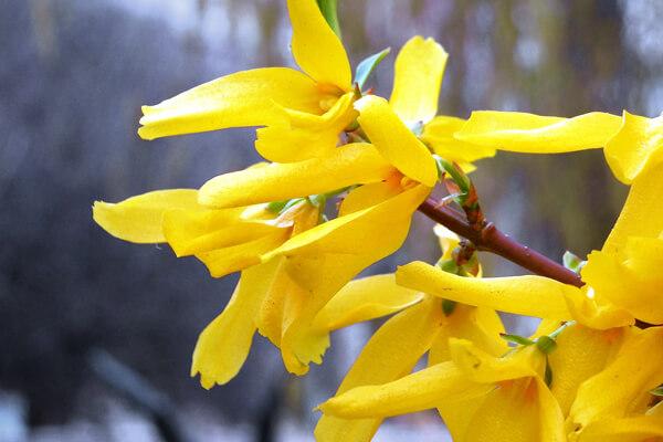 4月11日の誕生花 レンギョウ
