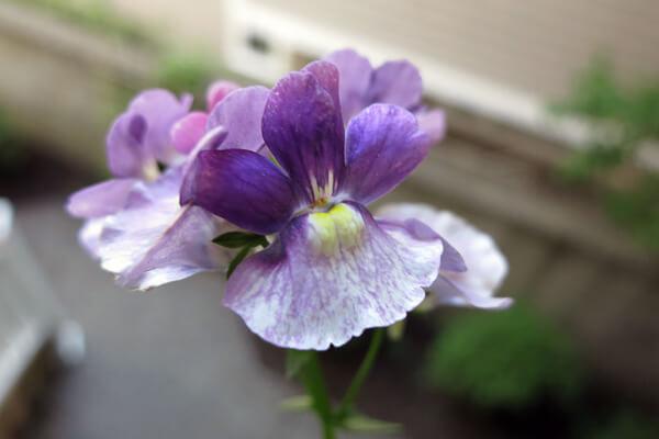 4月12日の誕生花 ネメシア