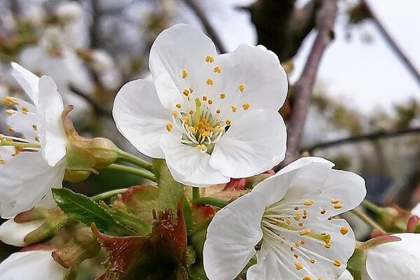 4月13日の誕生花 サクラ