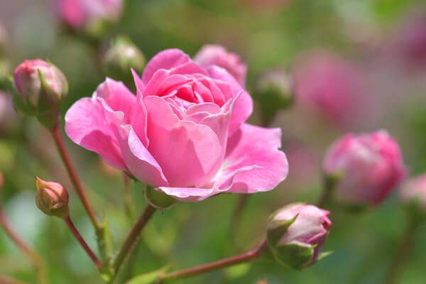4月15日の誕生花 ピンクバラ