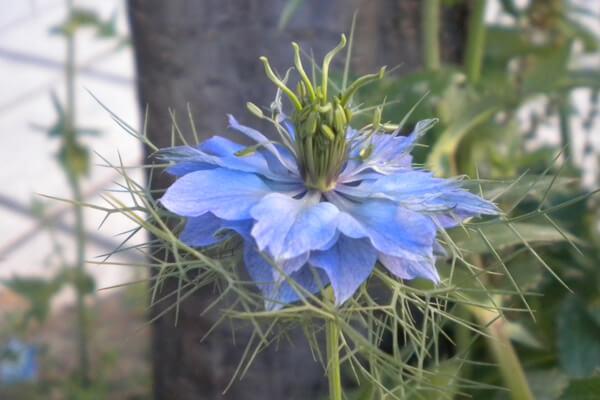 4月18日の誕生花 ニゲラ