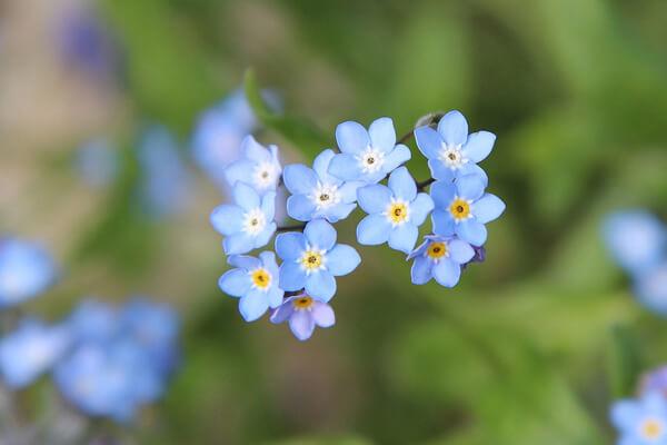 4月21日の誕生花 ワスレナグサ