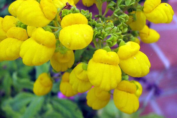 4月24日の誕生花 カルセオラリア