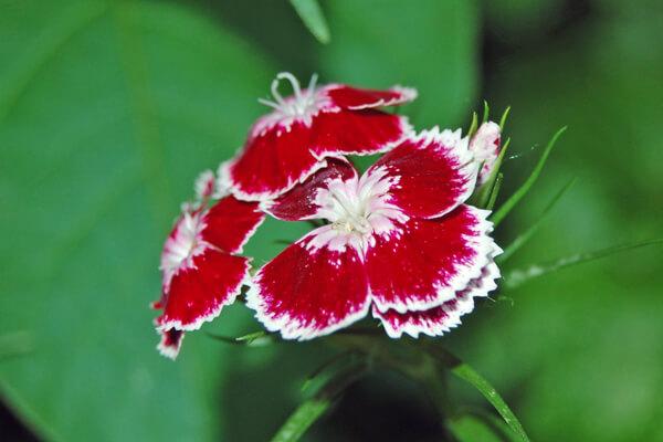 4月25日の誕生花 ビジョナデシコ