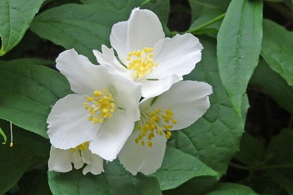 4月28日の誕生花 バイカウツギ
