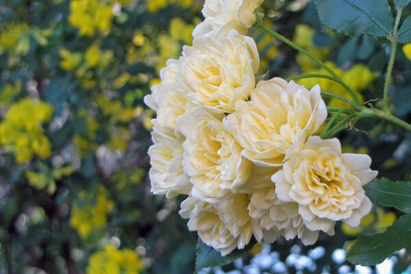 4月30日の誕生花 モッコウバラ