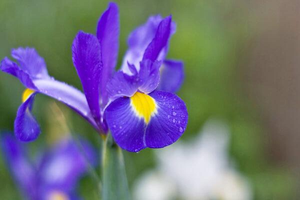 4月5日の誕生花 球根アイリス