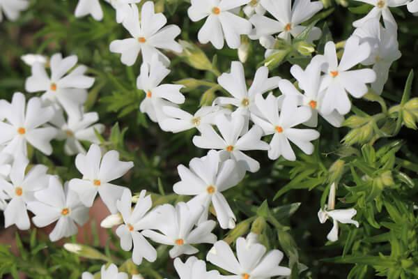 4月8日の誕生花 シバザクラ