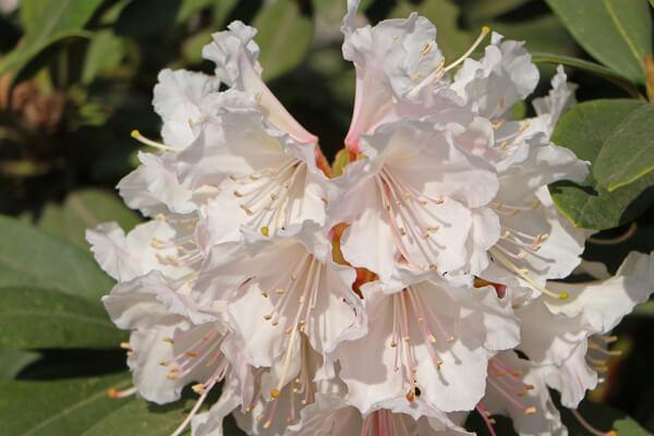 5月15日の誕生花 セイヨウシャクナゲ