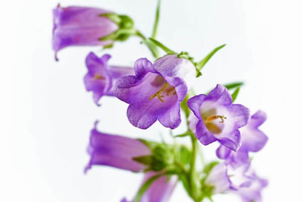 5月16日の誕生花 カンパニュラ・メディウム
