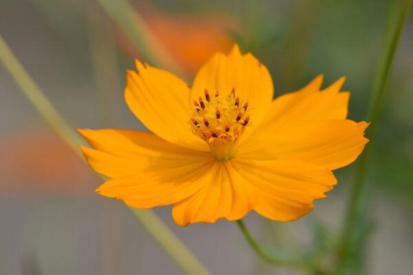 5月18日の誕生花 キバナコスモス