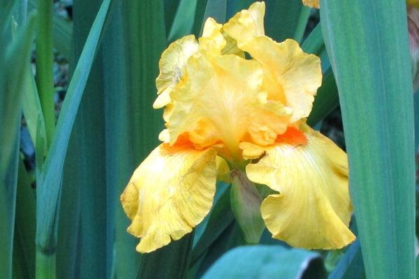5月23日の誕生花 ジャーマンアイリス